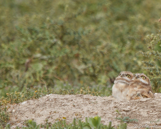 Burrowing Owl-ettes