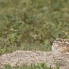 Burrowing Owl-ettes