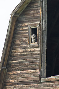 Great horned owl, Bubo virginianus, fledgling perched on a barn near Milo, Alberta, Canada.