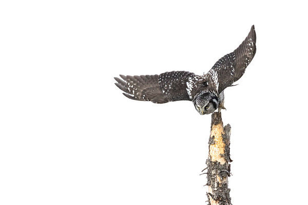 Northern hawk owl, Surnia ulula, in flight near Water Valley, Alberta, Canada.