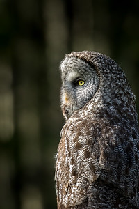 Great grey owl, Strix nebulosa, near Water Valley, Alberta, Canada.