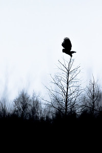 Great grey owl, Strix nebulosa, silhoutte near Westlock, Alberta, Canada.