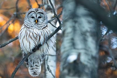 Barred owl, Strix varia, perched in St. Albert, Alberta, Canada.