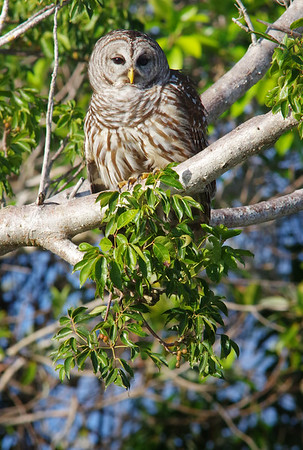 barred owl on gumbo limbo tree.