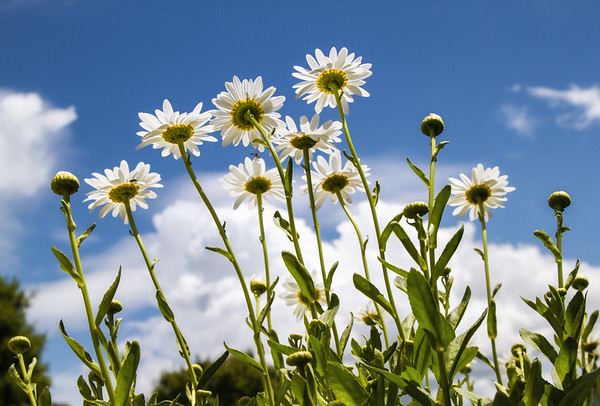 Brodys View of Daisies
