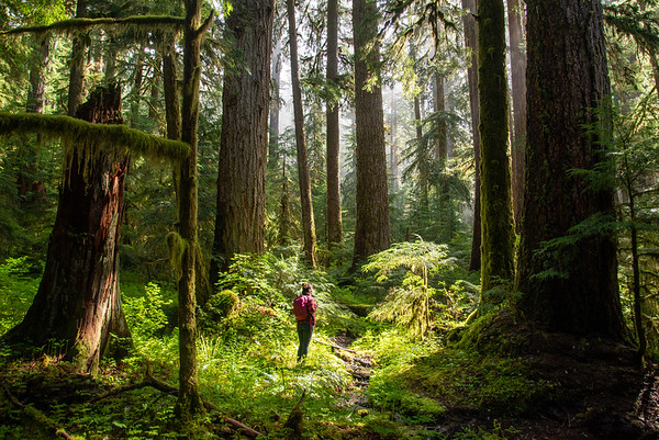 Towering old growth forest in Olympic National Park in Washington.