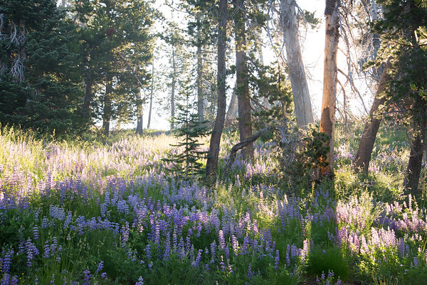 Lupine bloom among hardy lodgepole pines in the Three Sisters Wilderness in Oregon on a smoky morning.