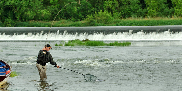 Fly angler playing River Bann salmon Co Antrim / Co Londonderry N Ireland