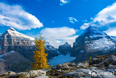 Larch tree in the Canadian Rockies of Banff National Park, Alberta Canada