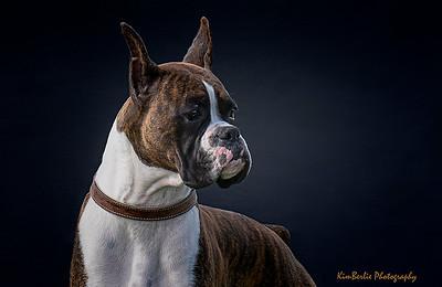 Boxer Portrait