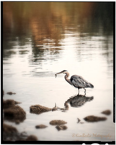 Heron with Breakfast
