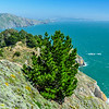 Pacific Coast Pine