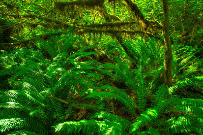 Ferns, Hoh Rainforest Olympic National Park