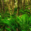 Ferns, Ecola Preserve Oregon Coast.