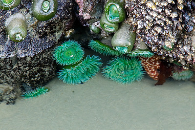 Anemonies, Bandon Beach Or.