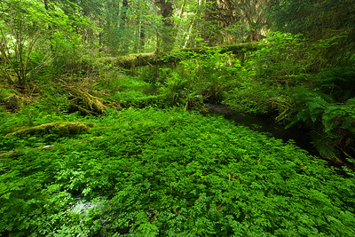 Green flora, Taft Creek, Hoh Rainforest. Olympic National Park Wa.