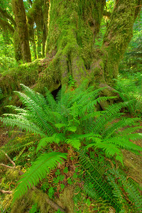 Fern and Moss covered tree, Hoh rainforest Olympic Washington