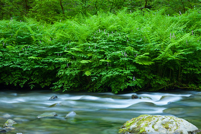 Sol Duc River with ferns