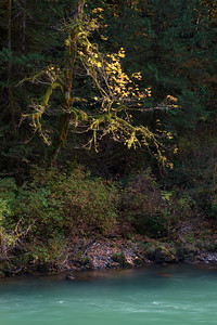 Canyon Light on a Mossy Tree