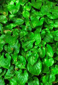 Lilies Oregon Coast