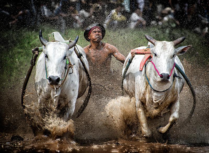 Pacu Jawi, Sumatra, Indonesia