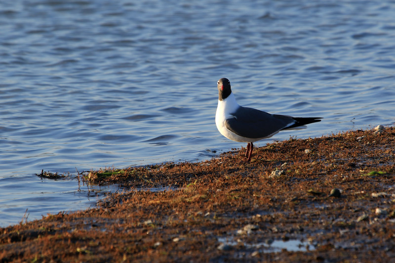 Laughing  Gull - in the morning sunlight along the Packery Channel - northernmost end of Padre Island (the longest barrier island on Earth).