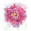 "Dahlia Petal Dance- Shriveling, 8"" x 7"", acrylic on paper"