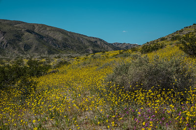 Superbloom in Southern California - Palm Desert, CA, USA
