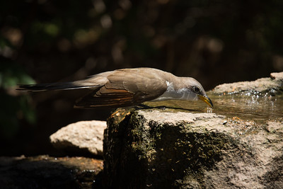 Yellow-billed Cuckoo at the water feature, bird blind at Palo Duro Canyon