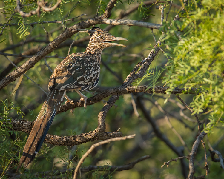 Roadrunner in a mesquite tree in Palo Duro Canyon State Park