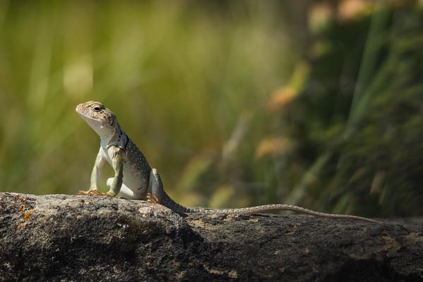 Collared lizard, female