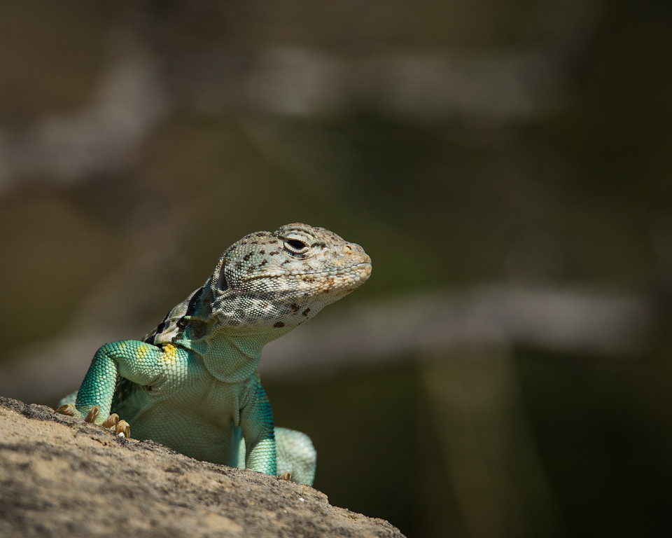 Collared Lizard, Male<br /> Elkins Ranch jeep Excursion<br /> July, 2016
