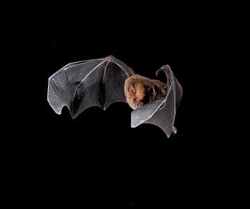 Stirnira bat