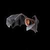 Stirnira bat
