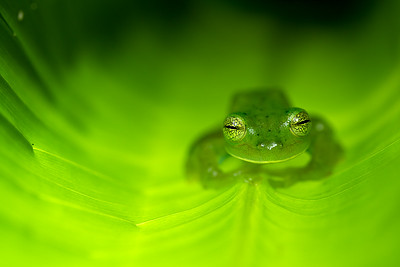 Emerald Glass Frog