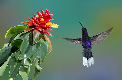 Purple Sabrewing hummingbird