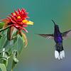 Purple Sabrewing hummingbird