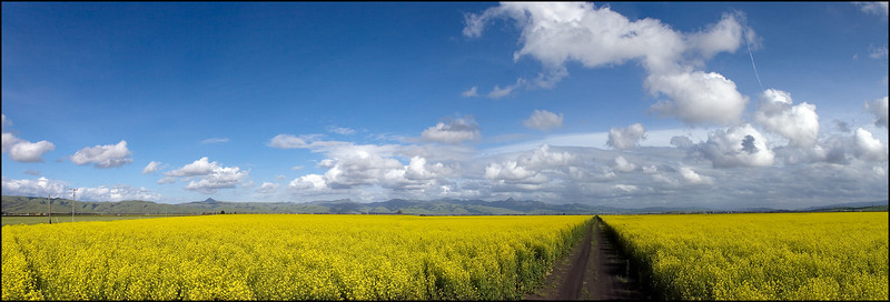 Mustard Fields, San Benito County, March 30, 2010 (6 images stitched)