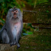Wise Macaque Monkey Mum. ~WIDE VIEW~