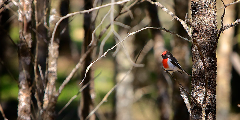 The beautiful Red Capped Robin - a native Australian bird 1. ~WIDE VIEW~