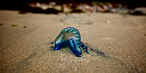 Close up of a  Blue Bottle Portuguese Man O' War. ~WIDE VIEW~