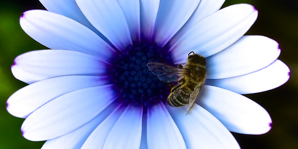 A honey bee's final resting place on a blue-eyed daisy. ~WIDE VIEW~