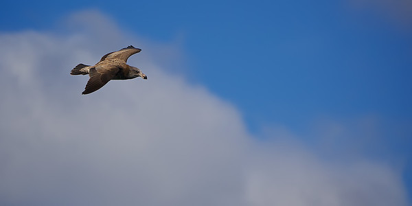 Juvenile Pacific Gull in flight at Eden, South Coast New South Wales, Australia. ~WIDE VIEW~
