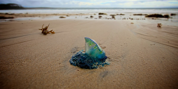 Beached Blue Bottle - A Blue Bottle  or Portuguese Man O' War beached at low tide in New South Wales Australia. ~WIDE VIEW~