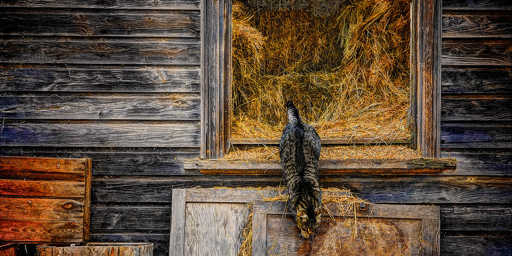 Farm Cat in the Hay Shed - Farm Cat in the Hay Shed, an old derelict farmhouse now used for storage. ~WIDE VIEW~