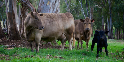 Two Brown Cows and a Black Calf. ~WIDE VIEW~