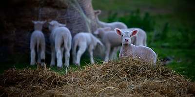 A Lamb in the Hay - A Border Leicester cross Dorset Lamb Playing in the Hay. ~WIDE VIEW~