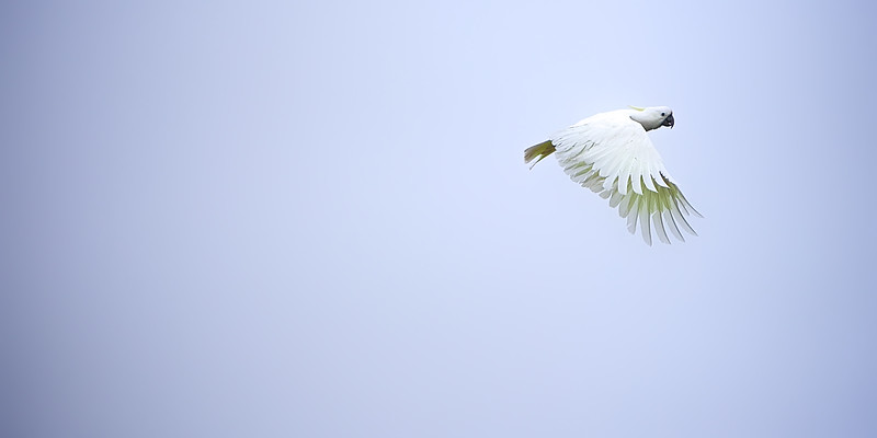 Australian sulpher crested cockatoo in flight. ~WIDE VIEW~