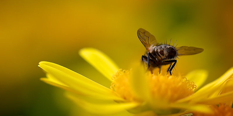 A Fly's Bum on a Yellow Daisy. ~WIDE VIEW~