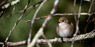 Much plainer in colour, the female red capped robin perches on a Branch.  The Red Capped Robin is native to Australia. ~WIDE VIEW~